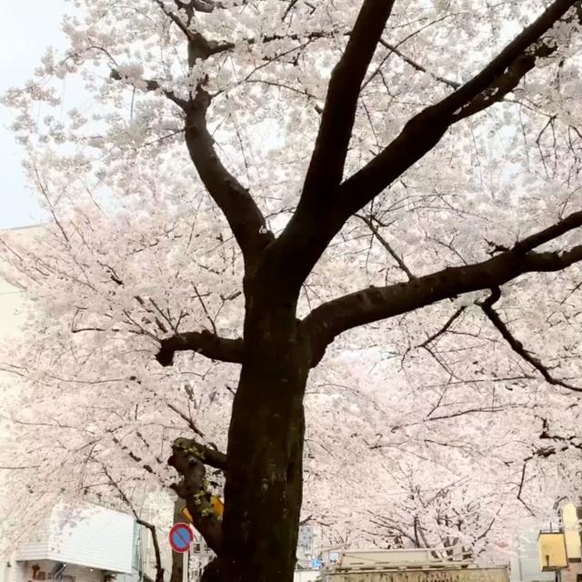 不動前から桜トンネルを登る