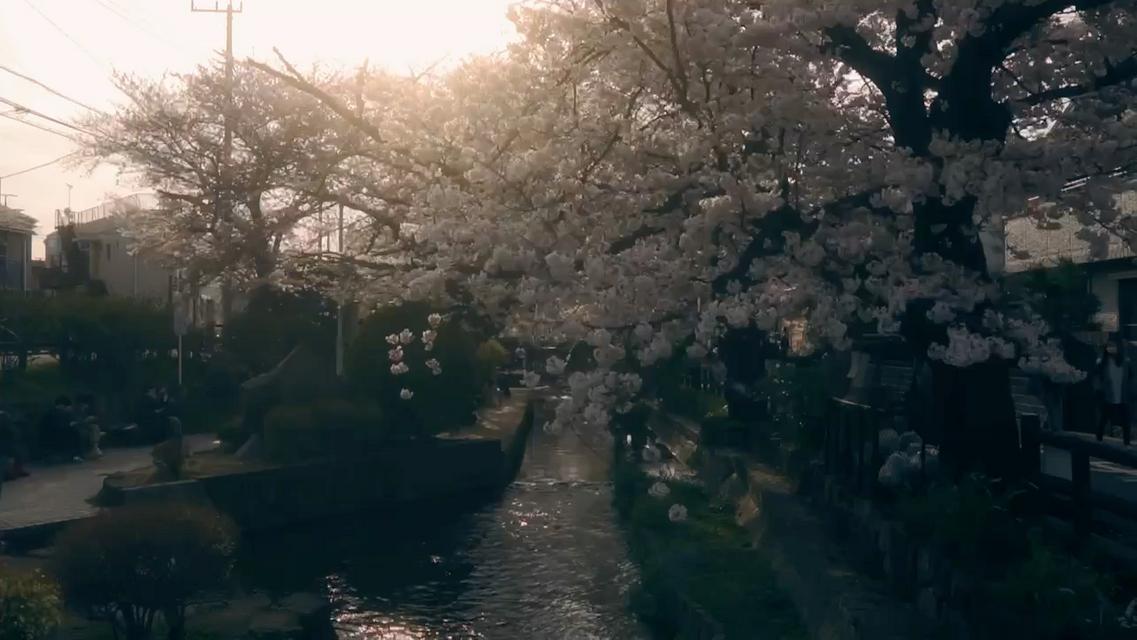 川崎宿河原の桜