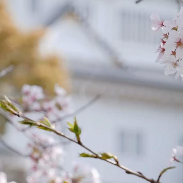 桜満開の岸和田城🌸